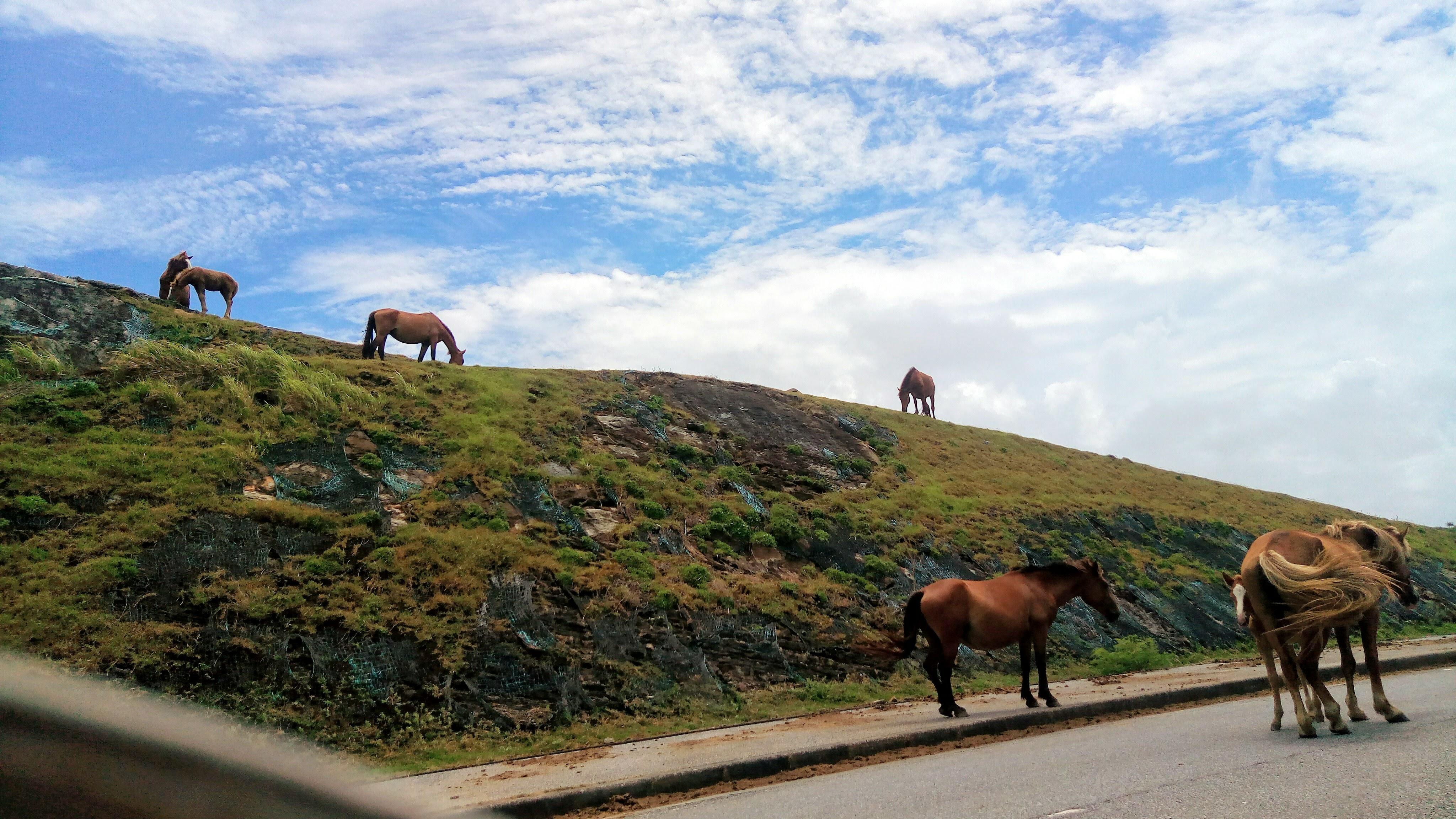 放牧されている与那国馬