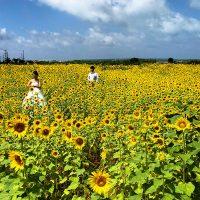 宮古島のひまわり畑満開