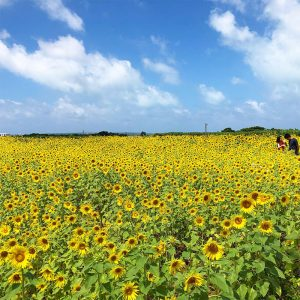宮古島のひまわり畑満開2