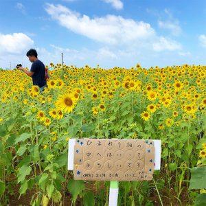 宮古島のひまわり畑満開3